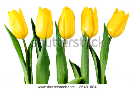 stock-photo-five-yellow-tulips-isolated-on-white-with-clipping-path-26401604